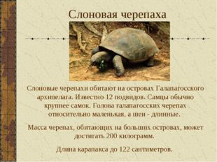 Слоновая черепаха Слоновые черепахи обитают на островах Галапагосского архипе