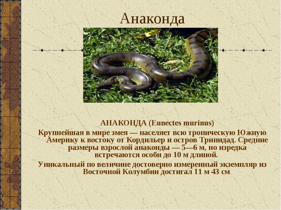 Анаконда АНАКОНДА (Eunectes murinus) Крупнейшая в мире змея — населяет всю т...