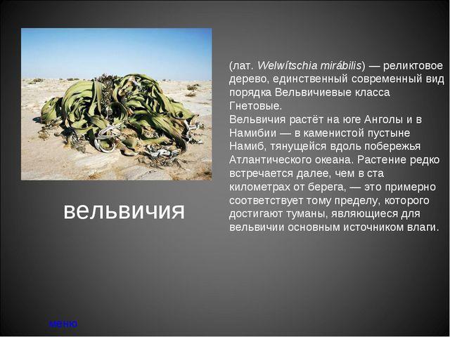 вельвичия меню Вельви́чия удиви́тельная (лат.Welwítschia mirábilis)— реликт...