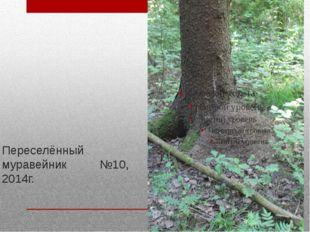 Переселённый муравейник №10, 2014г.