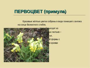 ПЕРВОЦВЕТ (примула) Красивые жёлтые цветки собраны в виде поникшего зонтика н