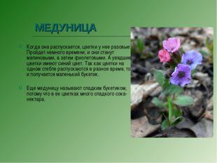 МЕДУНИЦА Когда она распускается, цветки у нее разовые. Пройдет немного времен