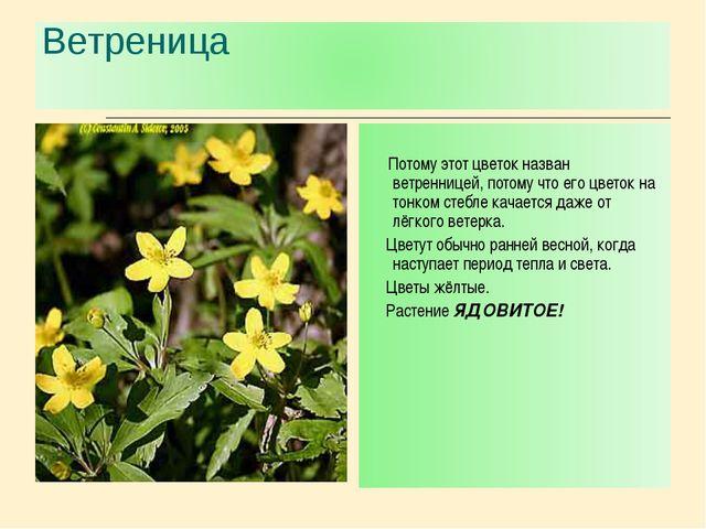 Потому этот цветок назван ветренницей, потому что его цветок на тонком стебл...