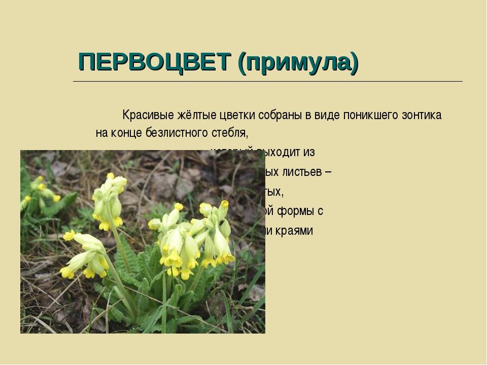 ПЕРВОЦВЕТ (примула) Красивые жёлтые цветки собраны в виде поникшего зонтика н...