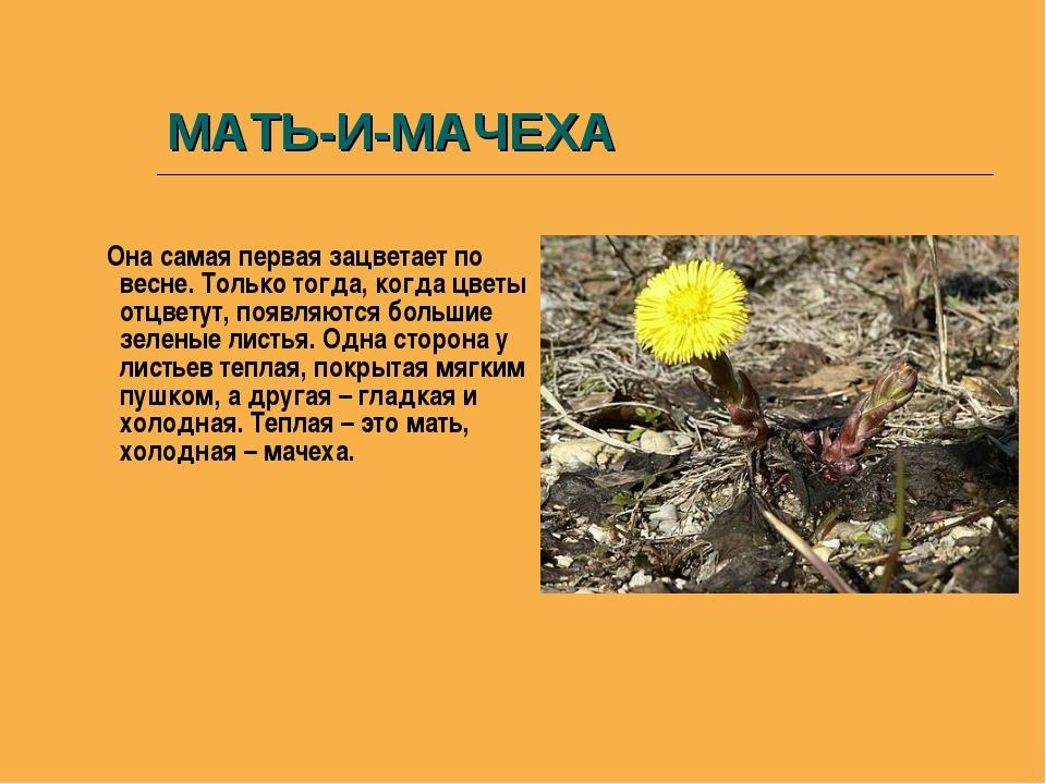 МАТЬ-И-МАЧЕХА Она самая первая зацветает по весне. Только тогда, когда цветы...