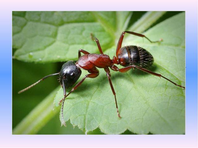 Назовите насекомое: «Я работаю в артели у корней лохматой ели. По буграм тащу...