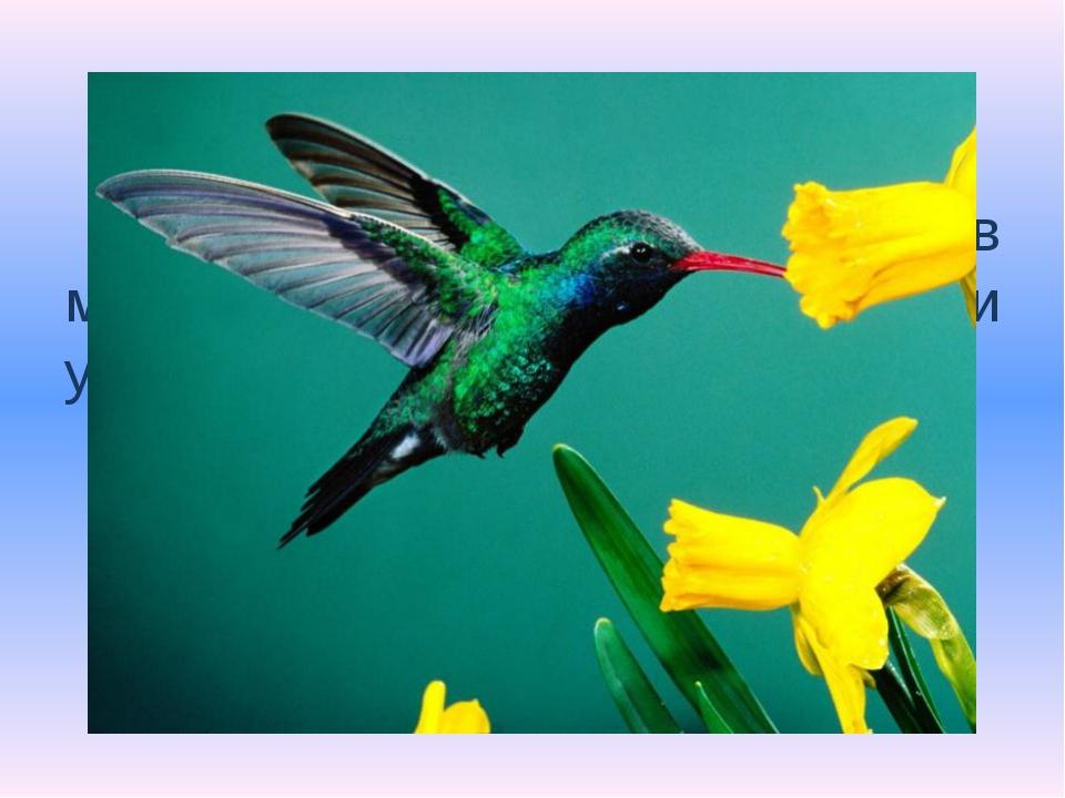 Самая маленькая птичка в мире, весит всего 4 грамма и умеет зависать в воздух...