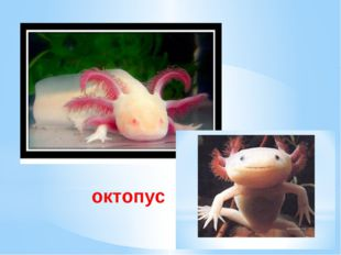 пус АКСОТОЛЬ октопус