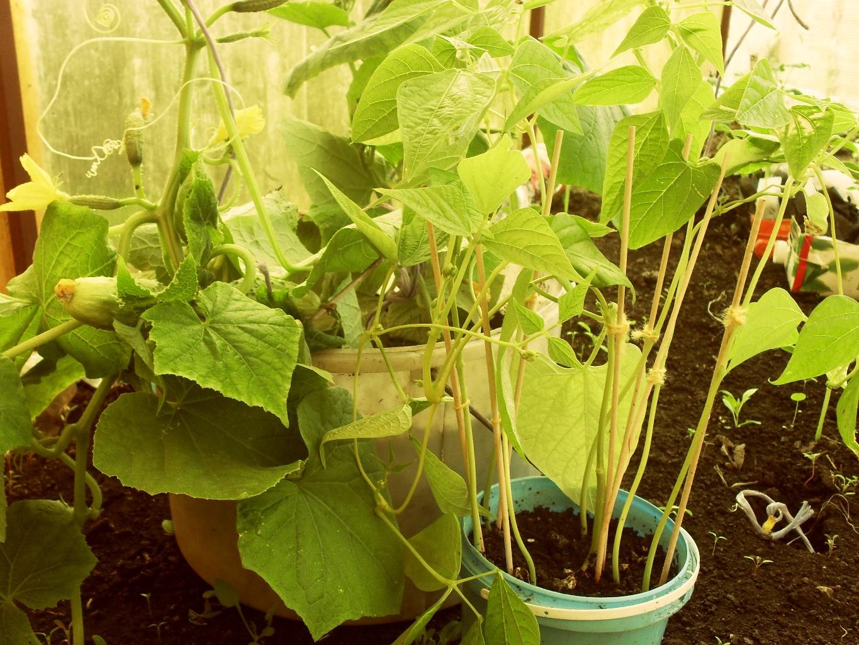 Выращивание фасоли в бочке 69