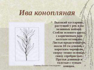 Ива конопляная Высокий кустарник, растущий у рек и на заливных поймах. Стебли