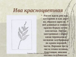 Ива красноцветная Растет вдоль рек как кустарник и как дере-во, образуя зарос