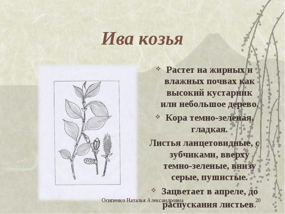 Ива козья Растет на жирных и влажных почвах как высокий кустарник или небольш...