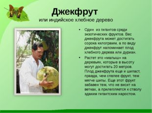 Джекфрут или индийское хлебное дерево Один из гигантов среди экзотических фру