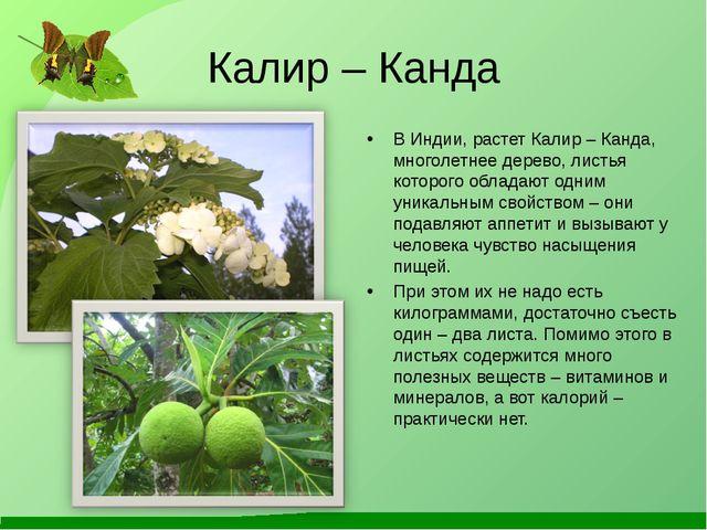 Калир – Канда В Индии, растет Калир – Канда, многолетнее дерево, листья котор...