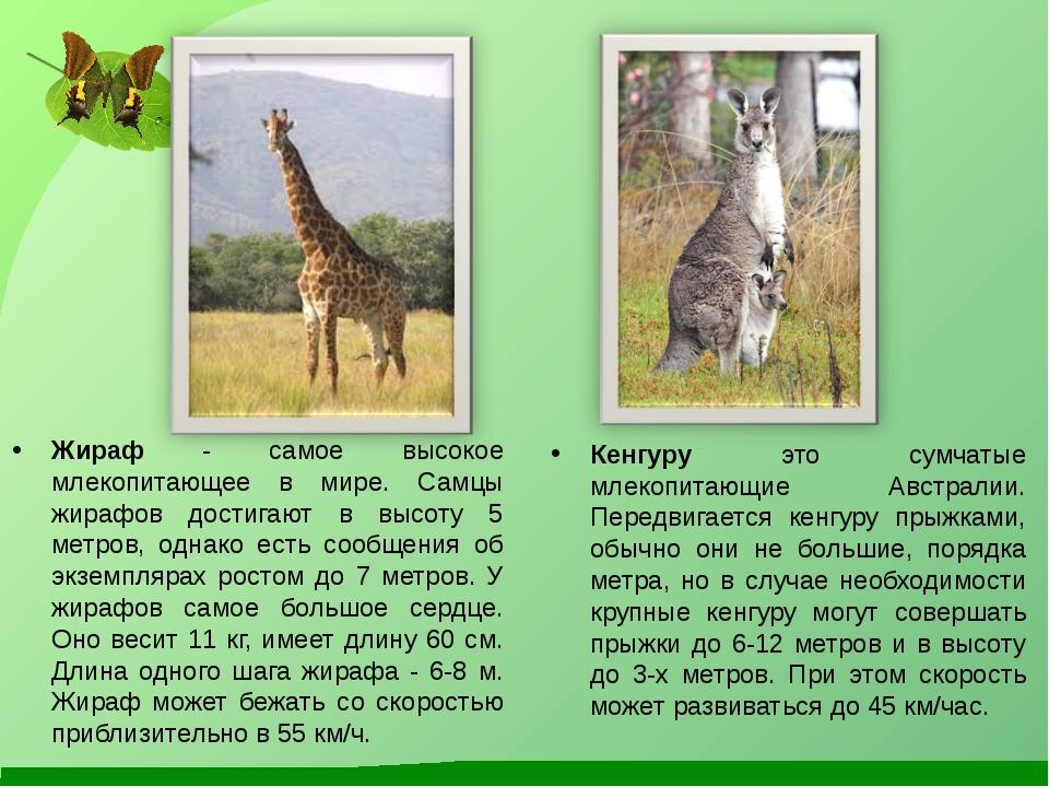 Жираф - самое высокое млекопитающее в мире. Самцы жирафов достигают в высоту...