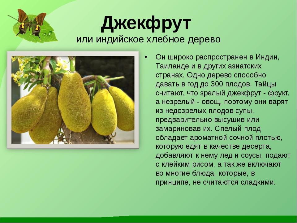 Джекфрут или индийское хлебное дерево Он широко распространен в Индии, Таилан...