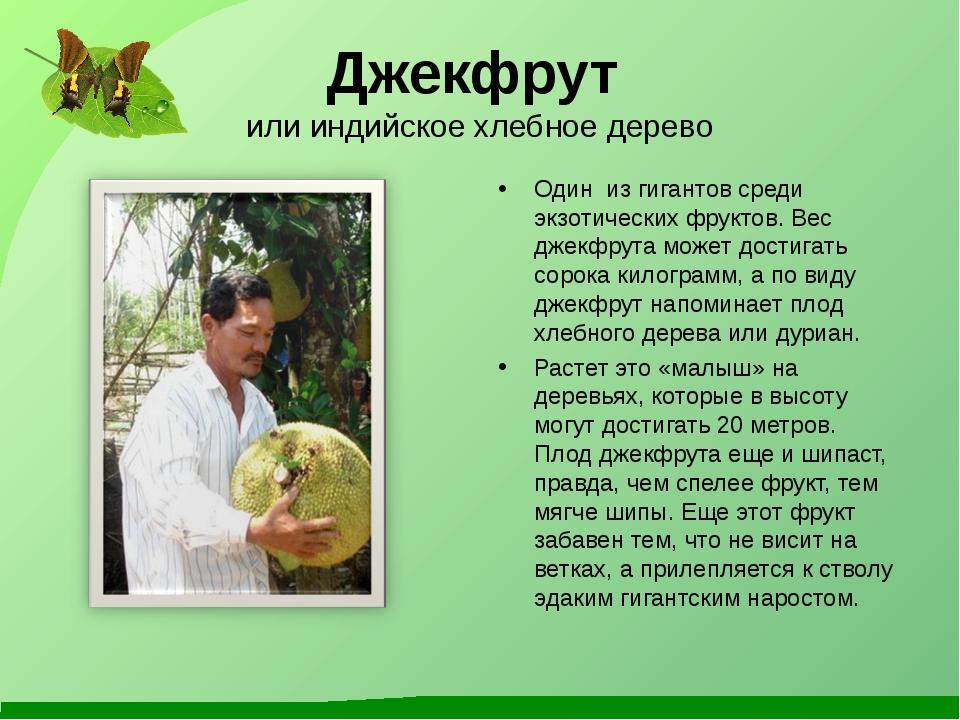 Джекфрут или индийское хлебное дерево Один из гигантов среди экзотических фру...