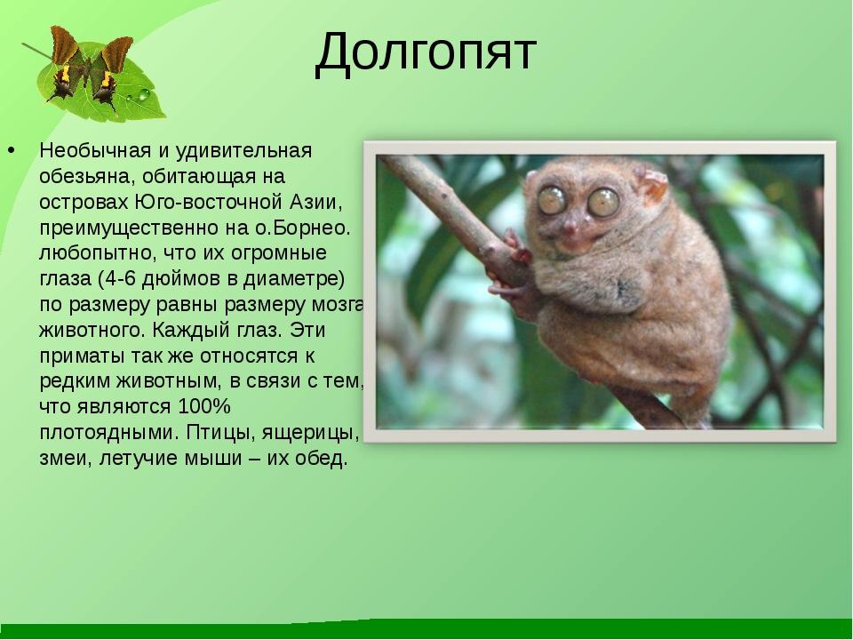 Долгопят Необычная и удивительная обезьяна, обитающая на островах Юго-восточн...