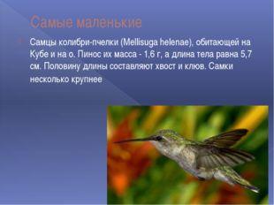 Самые маленькие Самцы колибри-пчелки (Mellisuga helenae), обитающей на Кубе и
