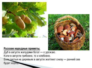 Русские народные приметы. Дуб в августе желудями богат— к урожаю. Коли в авг