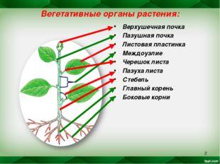 * Вегетативные органы растения: Верхушечная почка Пазушная почка Листовая пла