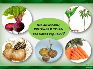* Все ли органы, растущие в почве, являются корнями?