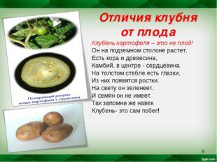 * Отличия клубня от плода Клубень картофеля – это не плод! Он на подземном ст