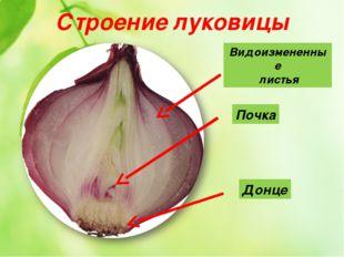 Строение луковицы Почка Видоизмененные листья Донце