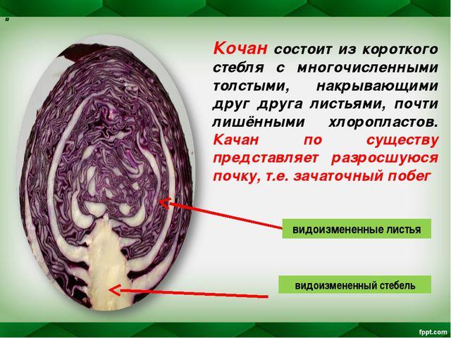 Кочан состоит из короткого стебля с многочисленными толстыми, накрывающими др...