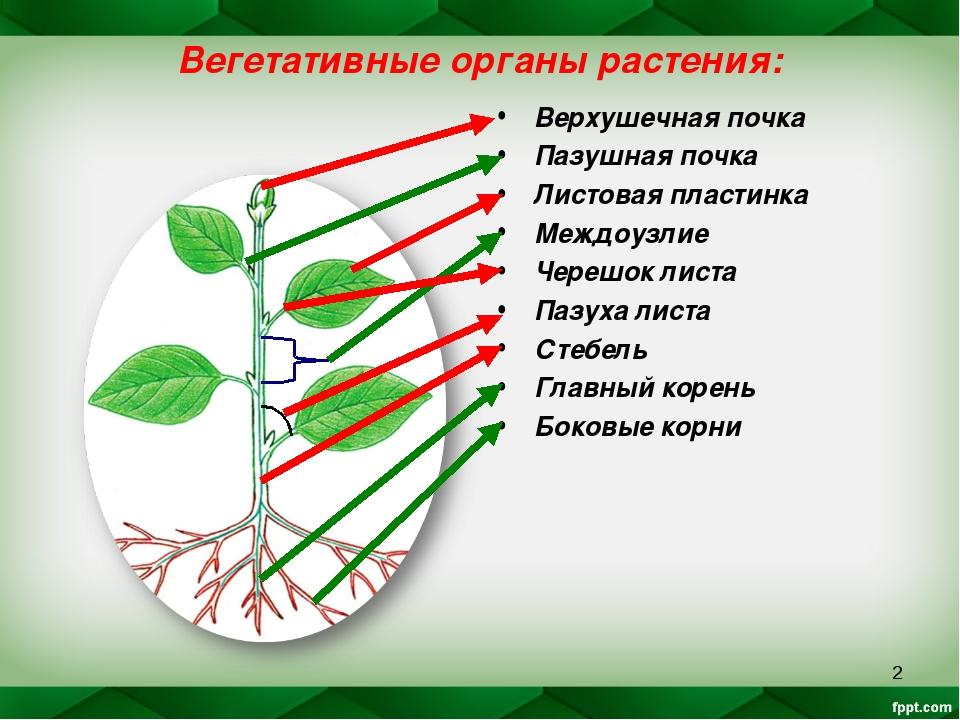 * Вегетативные органы растения: Верхушечная почка Пазушная почка Листовая пла...
