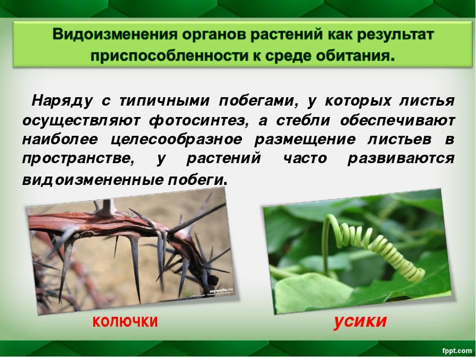 Наряду с типичными побегами, у которых листья осуществляют фотосинтез, а сте...