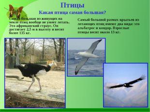 Птицы Какая птица самая большая? Самая большая из живущих на земле птиц вообщ