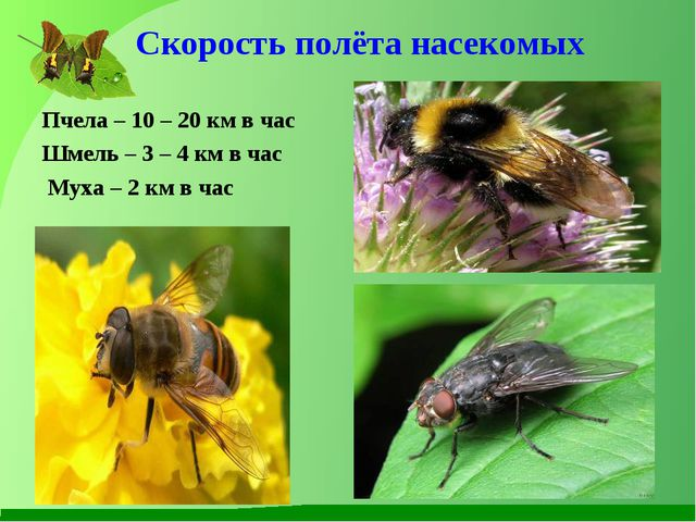 Скорость полёта насекомых Пчела – 10 – 20 км в час Шмель – 3 – 4 км в час Мух...