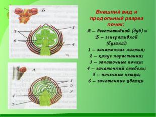 Внешний вид и продольный разрез почек: А – вегетативной (дуб) и Б – генератив