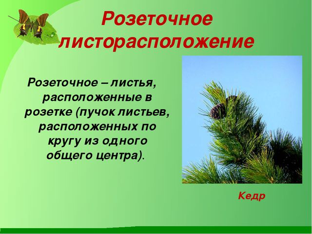 Розеточное листорасположение Розеточное–листья, расположенные в розетке (пу...