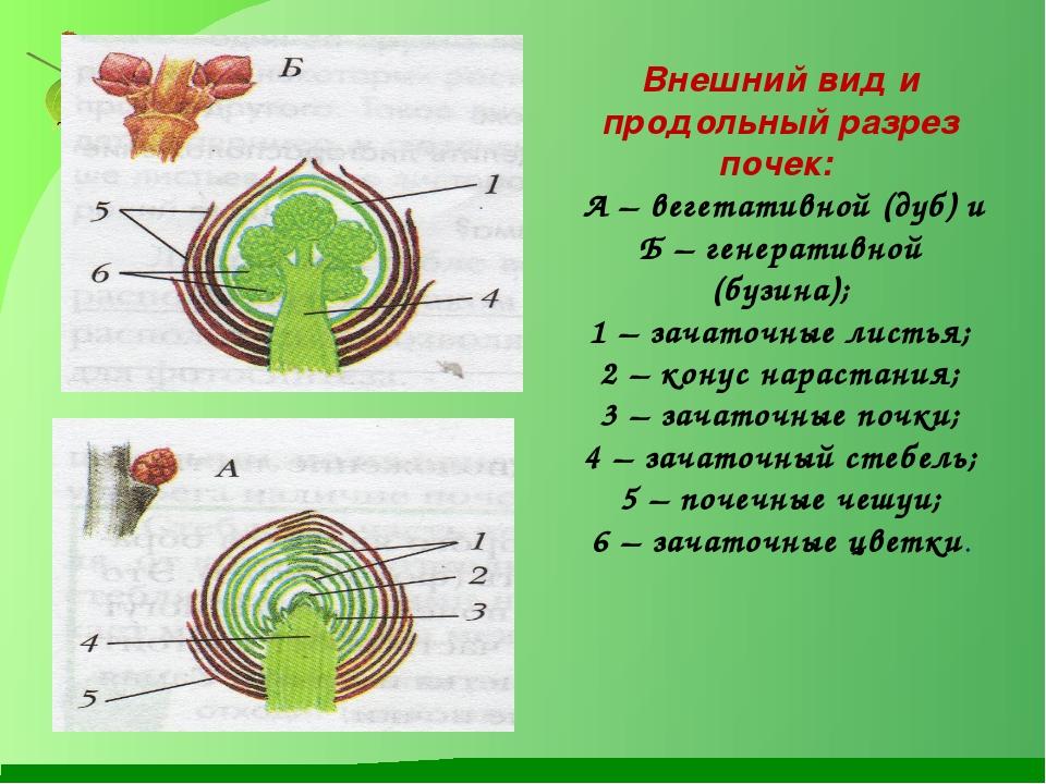 Внешний вид и продольный разрез почек: А – вегетативной (дуб) и Б – генератив...