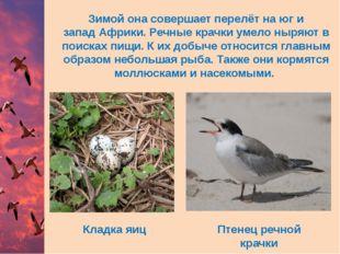 Кладка яиц Птенец речной крачки Зимой она совершает перелёт на юг и западАфр