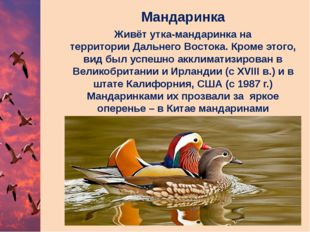 Мандаринка Живёт утка-мандаринка на территорииДальнего Востока. Кроме этого,