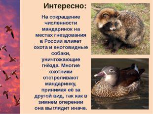 На сокращение численности мандаринок на местах гнездования в России влияет ох