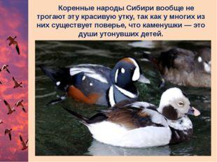 Коренные народы Сибири вообще не трогают эту красивую утку, так как у многих
