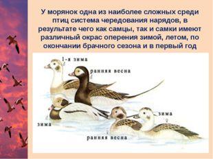 У морянок одна из наиболее сложных среди птиц система чередования нарядов, в