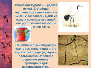 Японский журавль – редкая птица. Его общая численность оценивается в 1700—200
