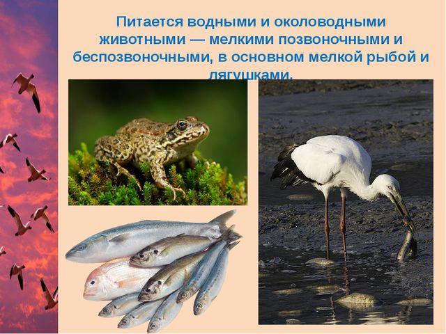 Питается водными и околоводными животными— мелкими позвоночными и беспозвоно...