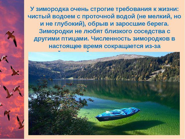 У зимородка очень строгие требования к жизни: чистый водоем с проточной водой...