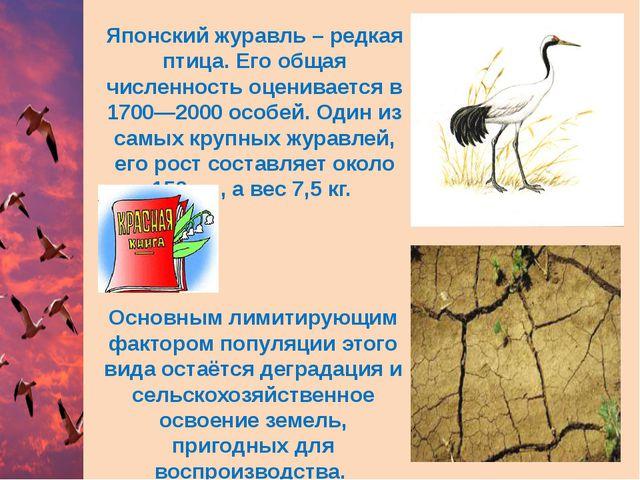 Японский журавль – редкая птица. Его общая численность оценивается в 1700—200...