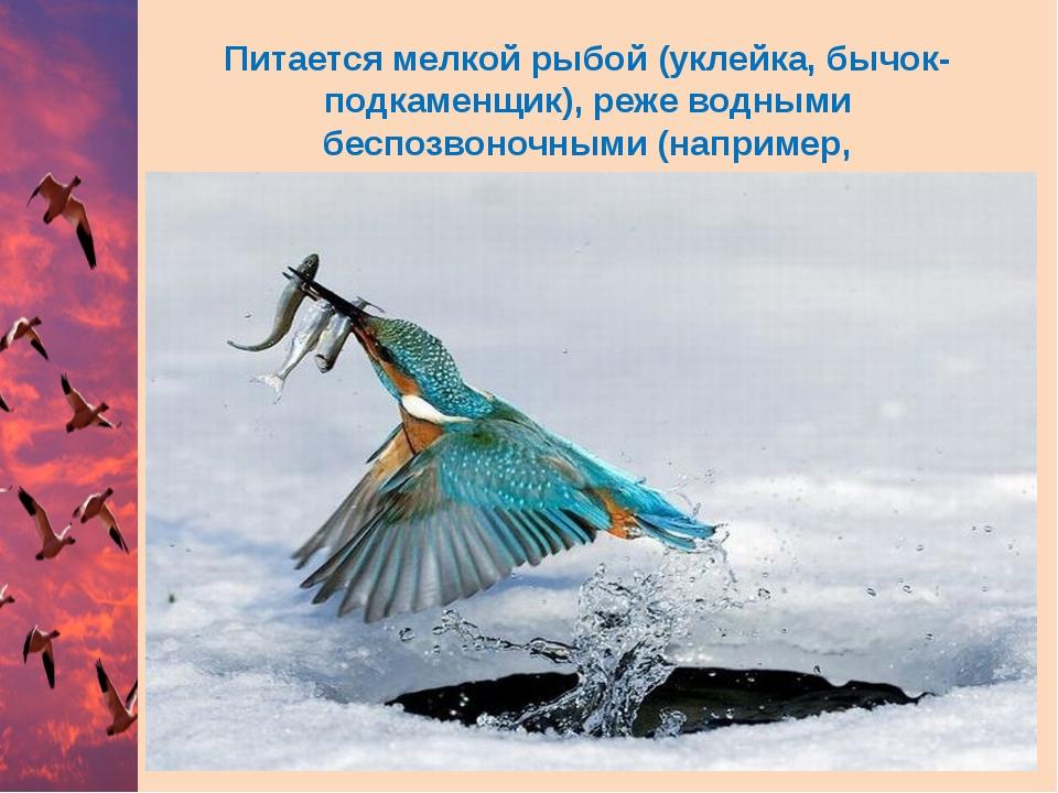 Питается мелкой рыбой (уклейка,бычок-подкаменщик), реже водными беспозвоночн...