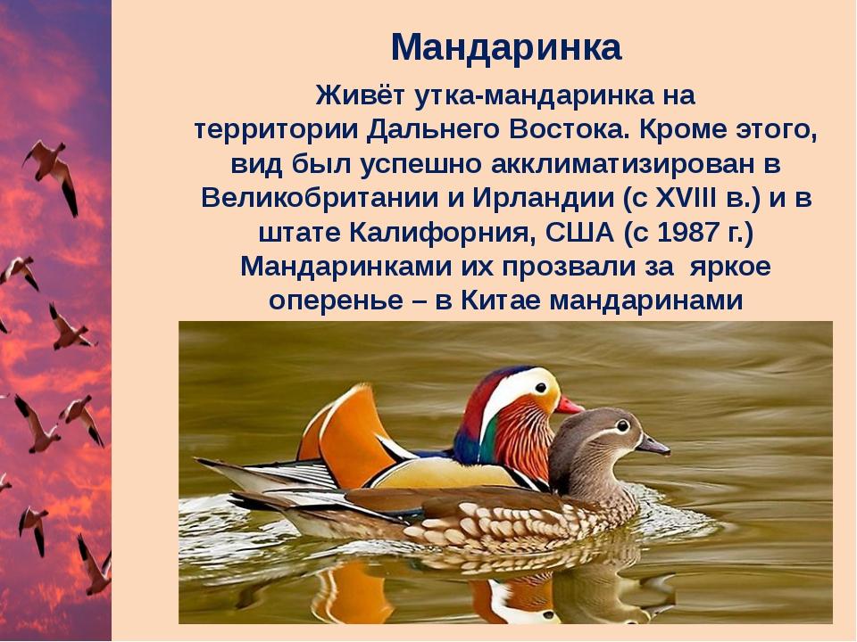 Мандаринка Живёт утка-мандаринка на территорииДальнего Востока. Кроме этого,...