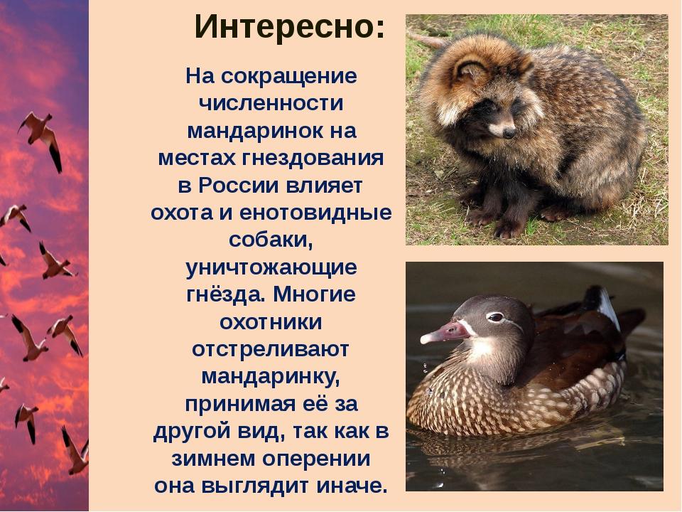 На сокращение численности мандаринок на местах гнездования в России влияет ох...
