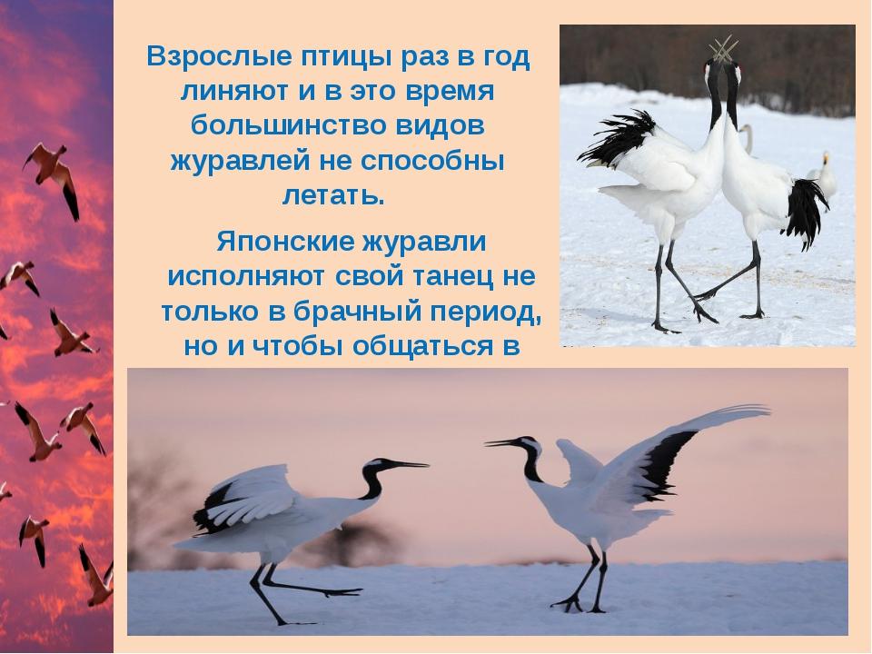 Взрослые птицы раз в год линяют и в это время большинство видов журавлей не с...