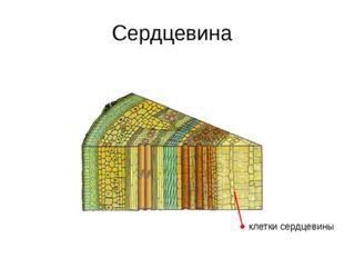 Листовые почки почечные чешуи зачаточные листочки зачаточный стебель зачаточн
